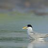 Least Tern in tidepool