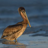 Brown Pelican Juvenile at Sunset