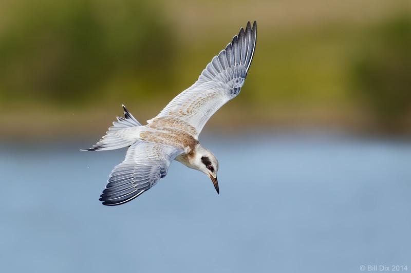 Forster's Tern juvenile in flight