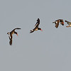 American Oystercatchers, Five in a Row