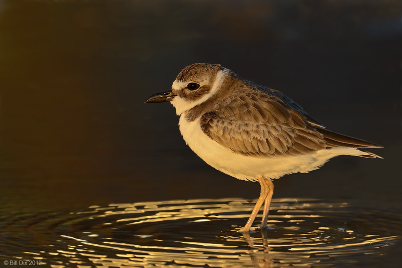 Wilson's Plover at sunset