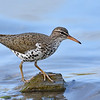 Spotted Sandpiper, breeding plumage