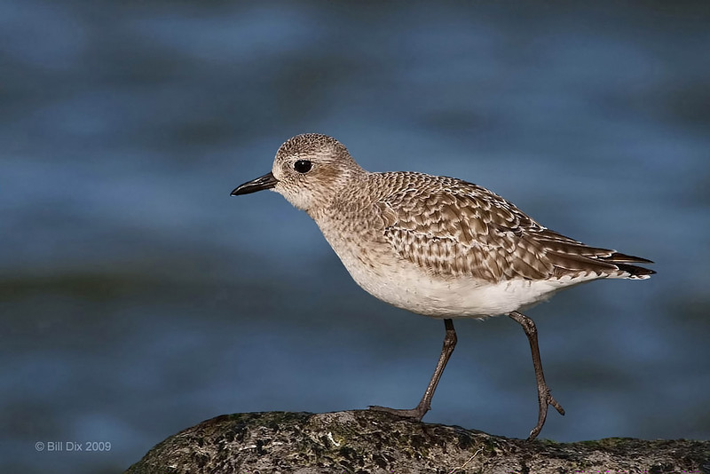 Black-bellied Plover, non-breeding