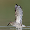 White-rumped Sandpiper, wing stretch
