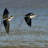 Black-necked Stilts in flight