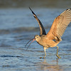Long-billed Curlew wing-flap