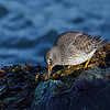 Purple Sandpiper feeding