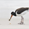 American Oystercatcher juvenile with food