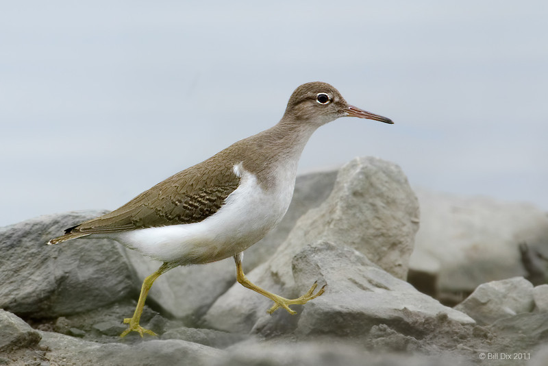 Spotted Sandpiper, non-breeding