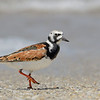 Ruddy Turnstone, breeding