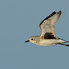 Black-bellied Plover in flight
