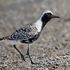Black-bellied Plover, breeding plumage
