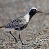 Black-bellied Plover, breeding plumage