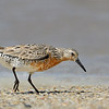 Red Knot, transitional