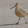 Short-billed Dowitcher (Prairie sub-species)
