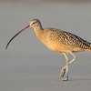 Long-billed Curlew, juvenile