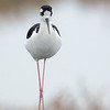 Black-necked Stilt in fog