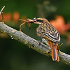 Streaked Flycatcher with Crustacean