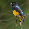 Green-backed Trogon male