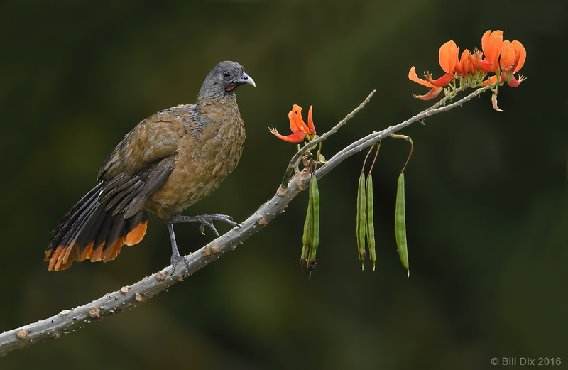 Rufous-vented Chachalaca on Immortelle