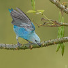 Blue-grey Tanager taking off