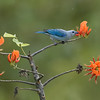 Blue-grey Tanager on Immortelle Tree
