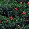 Scarlet Ibis Rookery