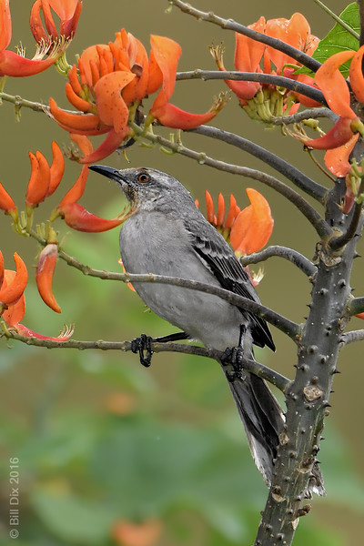 Tropical Mockingbird on Immortelle