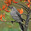 Tropical Mockingbird on Immortelle