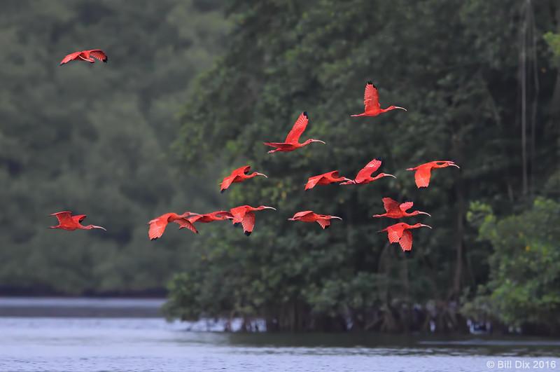 Scarlet Ibis group