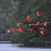 Scarlet Ibis group