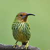 Purple Honeycreeper  female