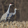 Sandhill Cranes, adult and juvenile