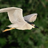 Black-crowned Night-Heron in flight