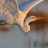 Great Egret Portrait in Flight
