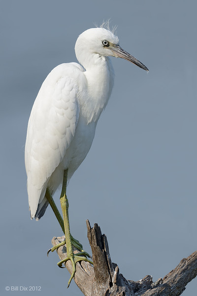 Little Blue Heron, immature