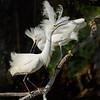 Snowy Egret courtship