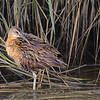 King Rail female
