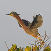 Green Heron taking off