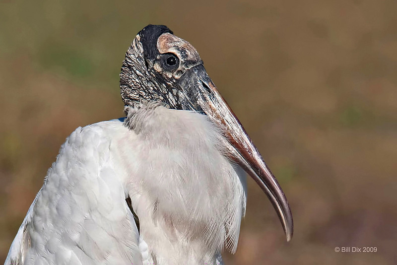 Wood Stork portrait