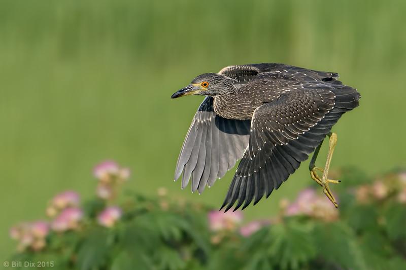 Yellow-crowned Night-Heron, taking off
