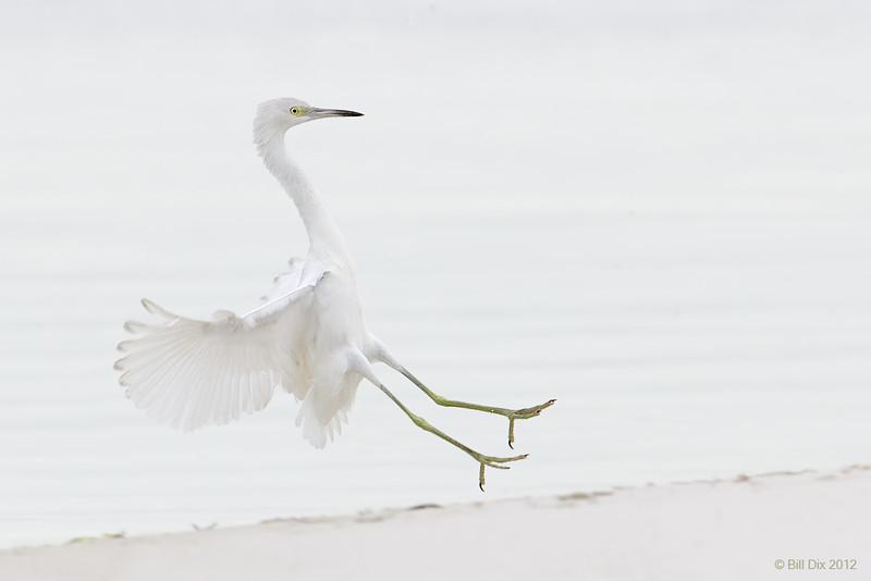 Little Blue Heron landing,  immature