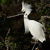 Snowy Egret with Stick
