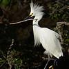 Snowy Egret with Stick