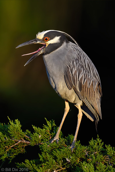 Yellow-crowned Night-Heron Calling