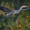 Great Blue Heron bearing gift