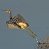 Tricolored Heron take-off