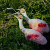 Roseate Spoonbills courting
