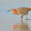 Reddish Egret stalking