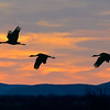 Sandhill Crane Group at Dawn